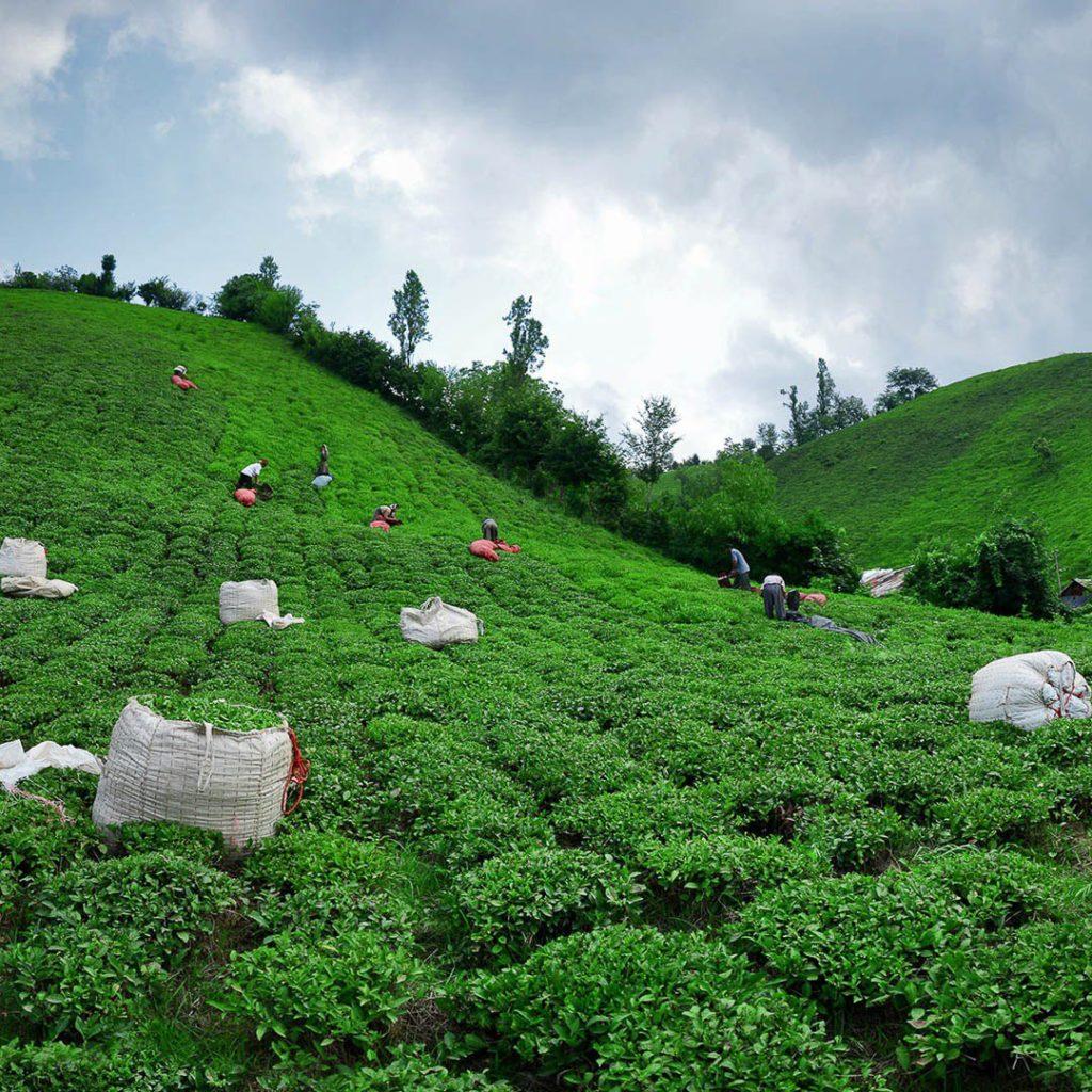 مزرعه چای ایرانی در گیلان